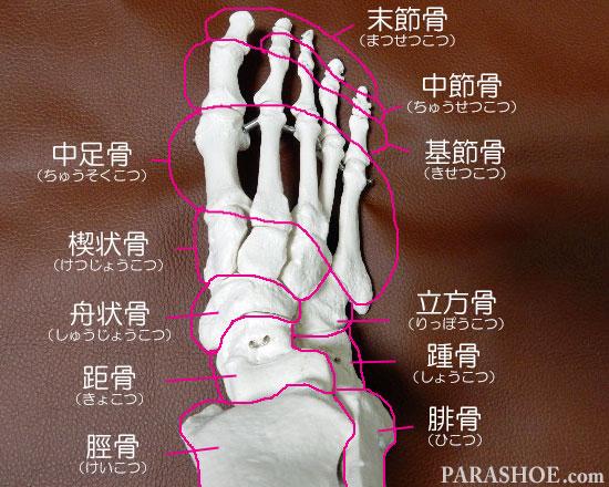 足の骨格の名称 末節骨(まつせつこつ)中節骨(ちゅうせつこつ)基節骨(きせつこつ)中足骨(ちゅうそくこつ)楔状骨(けつじょうこつ)舟状骨(しゅうじょうこつ)距骨(きょこつ)立方骨(りっぽうこつ)踵骨(しょうこつ)脛骨(けいこつ)腓骨(ひこつ)