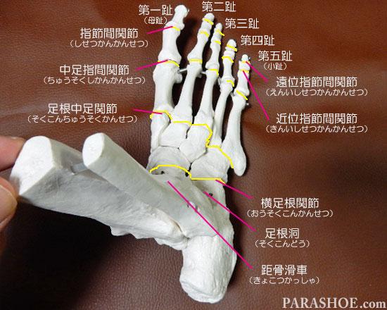 足の骨格 関節の名称 指節間関節 (しせつかんかんせつ) 遠位指節間関節 (えんいしせつかんかんせつ) 近位指節間関節 (きんいしせつかんかんせつ) 中足指間関節 (ちゅうそくしかんかんせつ) 足根中足関節 (そくこんちゅうそくかんせつ) 足根洞 (そくこんどう) 距骨滑車 (きょこつかっしゃ)