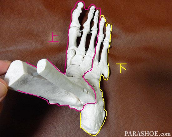 足の骨格 上下2つのグループに分かれる骨