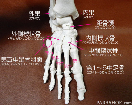 足の骨格の名称 第1~5中足骨(だい1~5ちゅうそくこつ)、第五中足骨粗面 (だいごちゅうそくこつそめん) 内側楔状骨 (うちがわけつじょうこつ)外側楔状骨 (そとがわけつじょうこつ)中間楔状骨 (ちゅうかんけつじょうこつ)距骨頭 (きょこつとう)外果 (がいか)内果 (ないか)