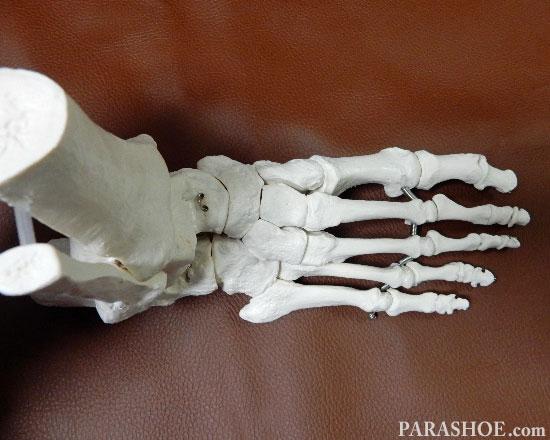 足の骨格模型 上から見た写真