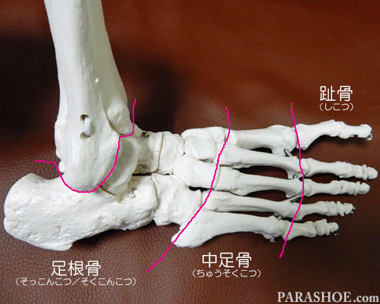 足の骨格 趾骨(しこつ)、中足骨(ちゅうそくこつ)、足根骨(そっこんこつ/そくこんこつ)