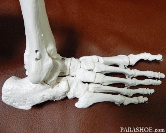 足の骨格模型 外側の横から見た写真