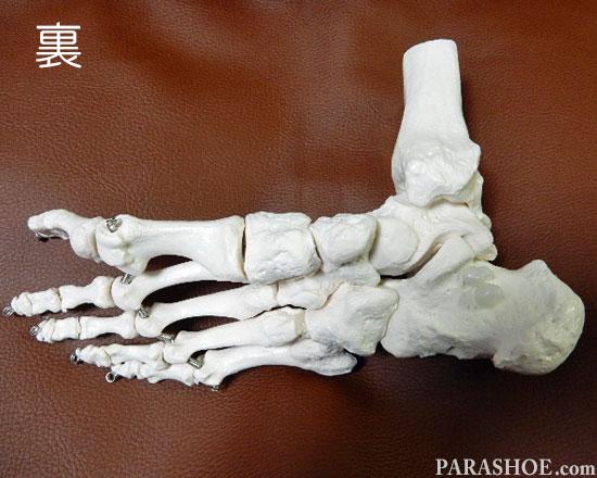 足の骨格模型 裏から見た写真
