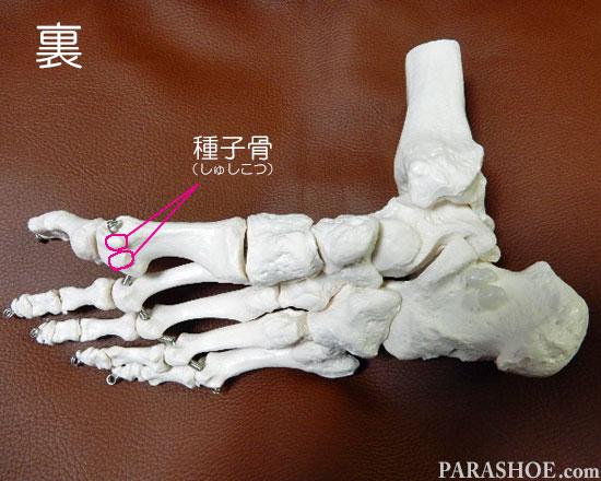 足の骨格の名称 種子骨(しゅしこつ)、母趾種子骨(ぼししゅしこつ)