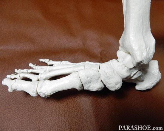 足の骨格模型 内側の横から見た写真