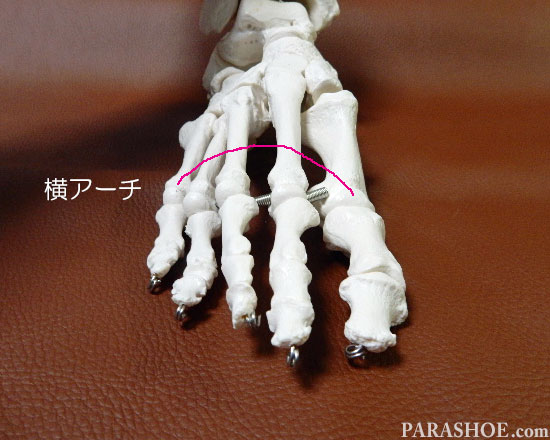 足の骨格 アーチ部 横アーチ(よこあーち)