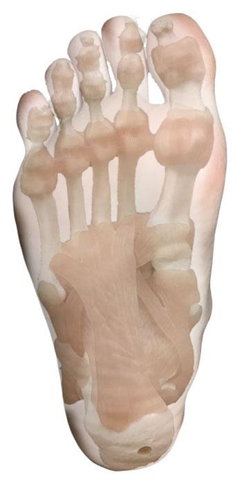 足の裏と、足の骨格と筋肉・靱帯