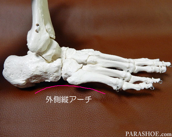 足の骨格の縦アーチ(外側小指部分)